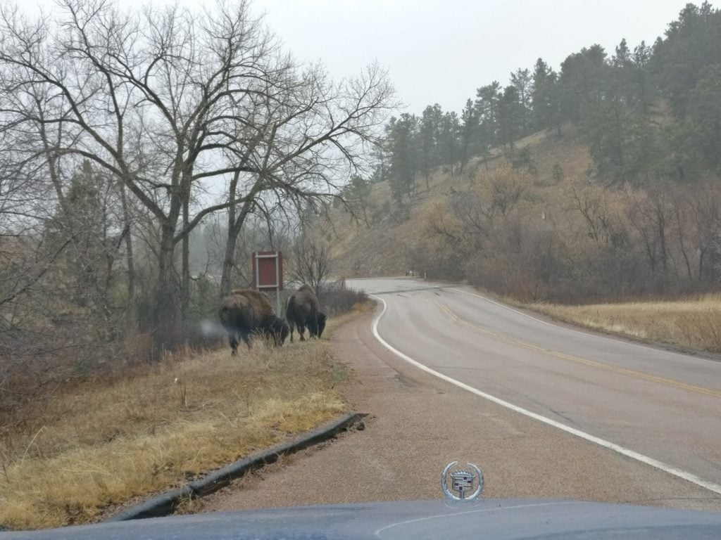 BUFFALOS! Or bisons, as I guess you should call them. They're awesome - kinda like bulkier moose.